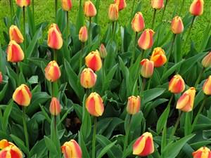 高清郁金香花海鲜花图片