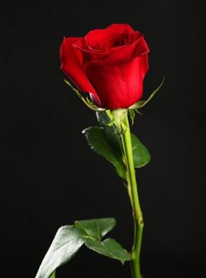 高清紅玫瑰花特寫圖片