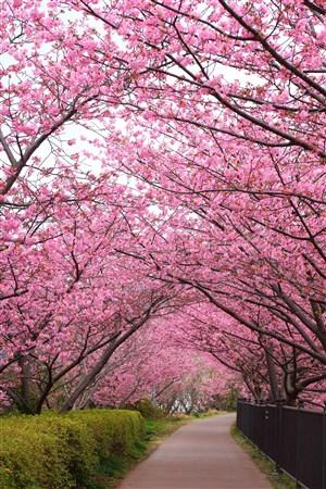 公园里唯美樱花鲜花图片