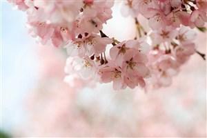 唯美粉色樱花高清特写