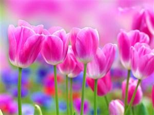 高清唯美粉粉郁金香鲜花图片