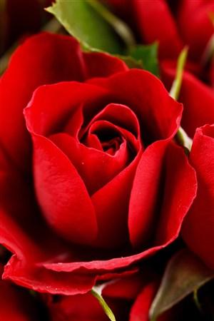 高清紅玫瑰花鮮花圖片