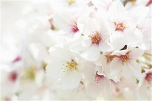 唯美白色樱花鲜花图片
