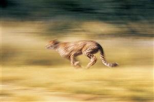 飞奔的豹子图片