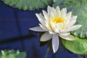 池塘唯美白蓮花鮮花圖片