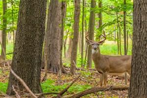 林间麋鹿图片