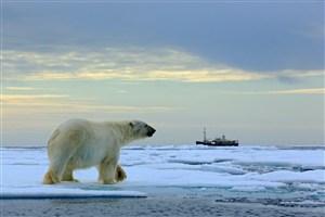 美国北极熊图片摄影