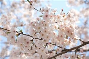 枝头唯美白色樱花鲜花图片