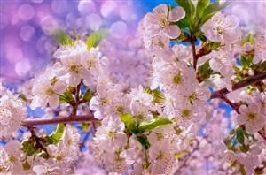 盛开枝头的樱花鲜花图片