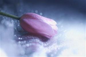 唯美粉色郁金香鮮花圖片