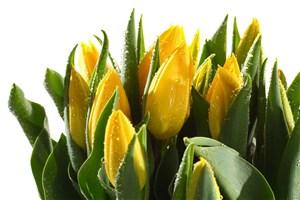 高清黃色郁金香鮮花圖片