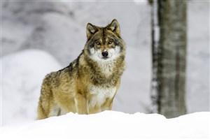基奈山狼图片