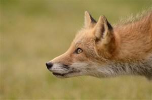 急速奔跑的小狐狸图片