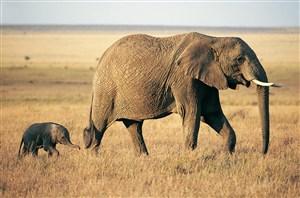 感性动物大象图片