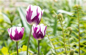 美麗紫色白色郁金香
