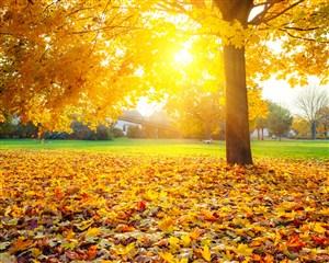 高清秋日暖阳枫树落叶风景图片