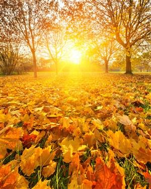 高清暖阳秋天枫树林风景图片