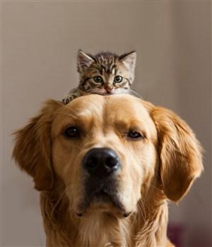 高清头顶上趴着小猫的金毛狗狗图片
