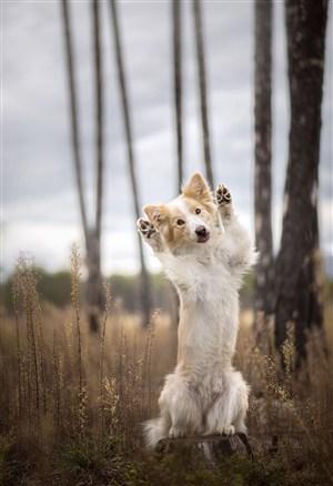 林间竖立双腿的可爱狗狗高清摄影
