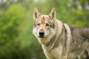 高清狼狗摄影图片
