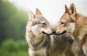 两只狼狗狗狗图片