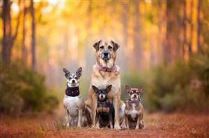 树林了吉娃娃一家狗狗图片