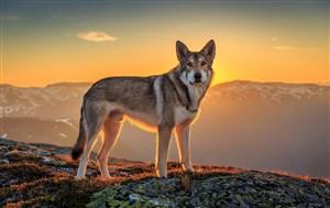 山頂上狼狗高清狗狗圖片