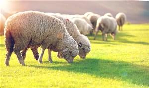 绿茵茵草地上的吃草的绵羊高清摄影图片