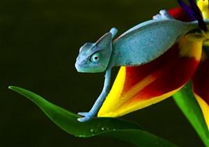 花瓣上的藍色變色龍高清攝影圖