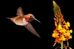 正在飞翔的黄色蜂鸟高清摄影图