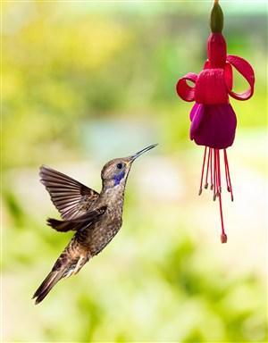脑袋向上的棕色蜂鸟高清摄影图