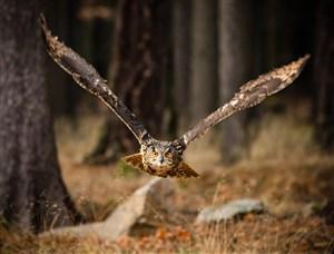 丛林中展翅飞翔的猫头鹰高清摄影