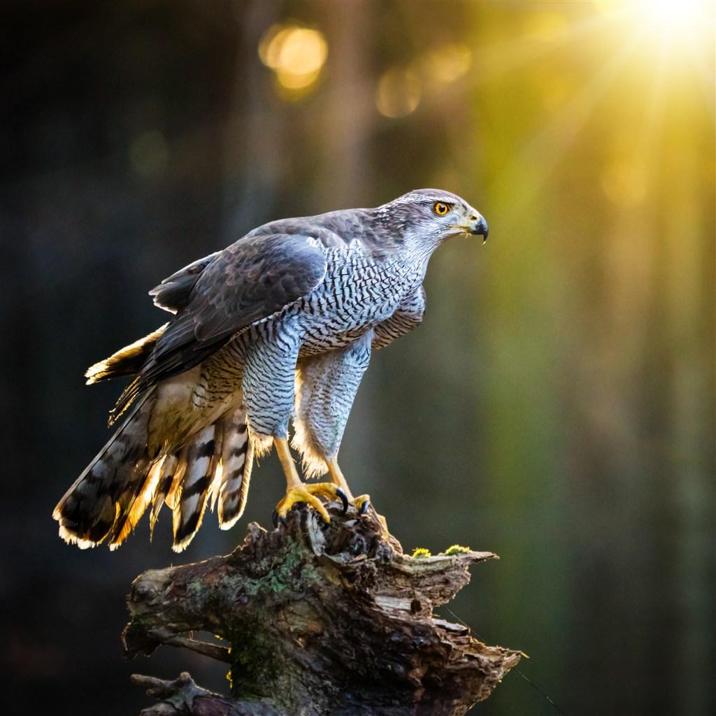 陽光下停在樹上的貓頭鷹