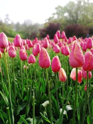 春天盛開的郁金香