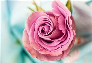 玫瑰花红玫瑰