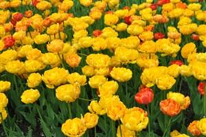 美麗黃色郁金香圖片