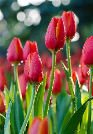 高清雨后紅色郁金香特寫圖片